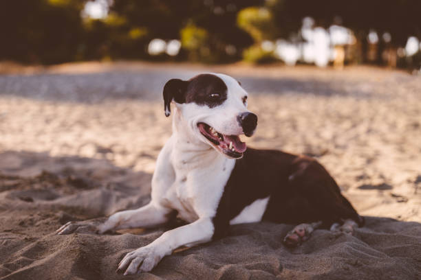 glücklich braunen und weißen hund entspannen am strand im sommer - hunde aus dem tierheim stock-fotos und bilder