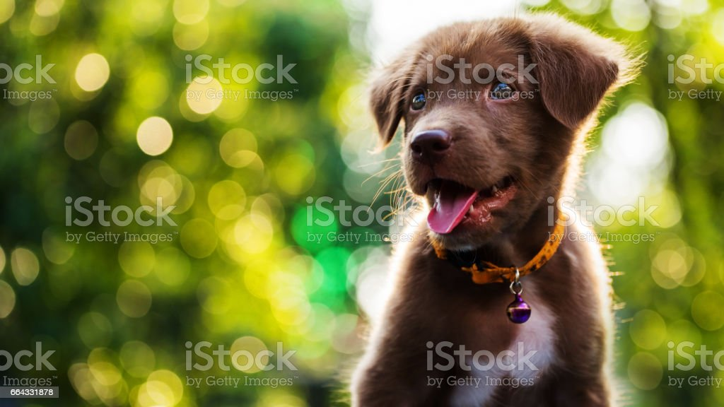 Glücklich braune Labrador Retriever Welpe mit abstrakten Hintergrund bokeh – Foto