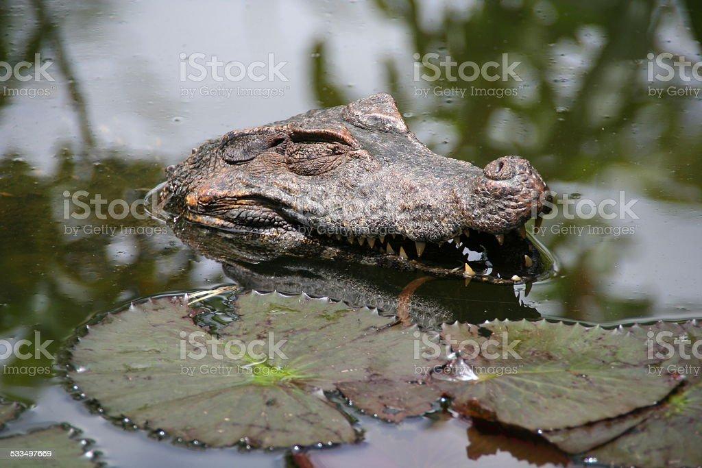 Happy caiman, French Guiana stock photo