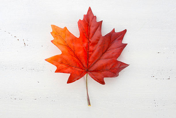happy canada day red silk maple leaf - maple leaf stock pictures, royalty-free photos & images