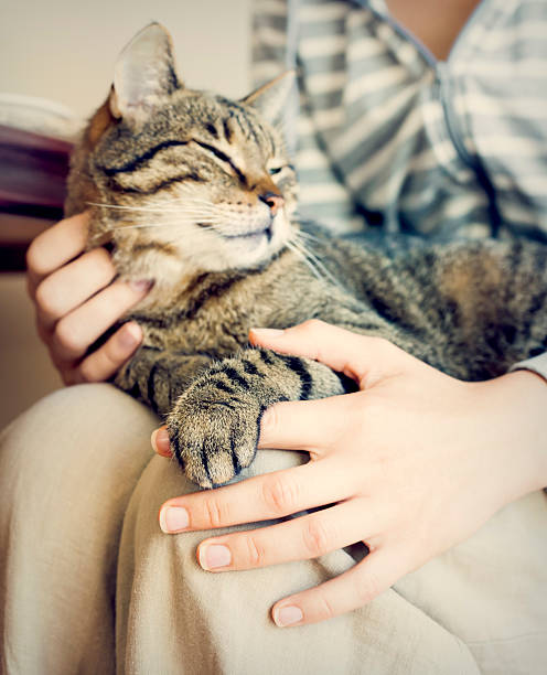Happy cat lying on woman's laps. Happy cat lying on woman's laps.Focus on cat's arm. Image toned. animal hand stock pictures, royalty-free photos & images