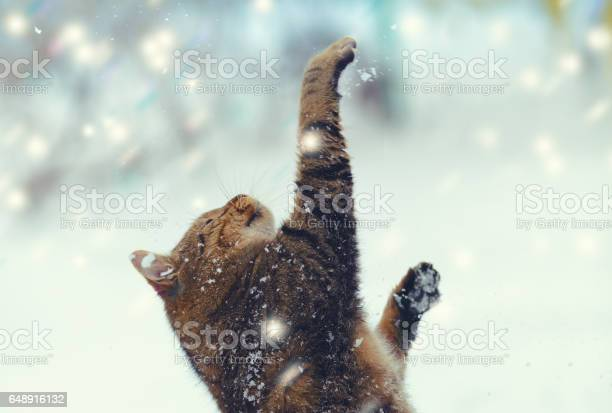 Happy cat playing with snow at blizzard picture id648916132?b=1&k=6&m=648916132&s=612x612&h=i98ocy  zx3z6nynjcsi0htsuap5ensam9qltq7dnk4=