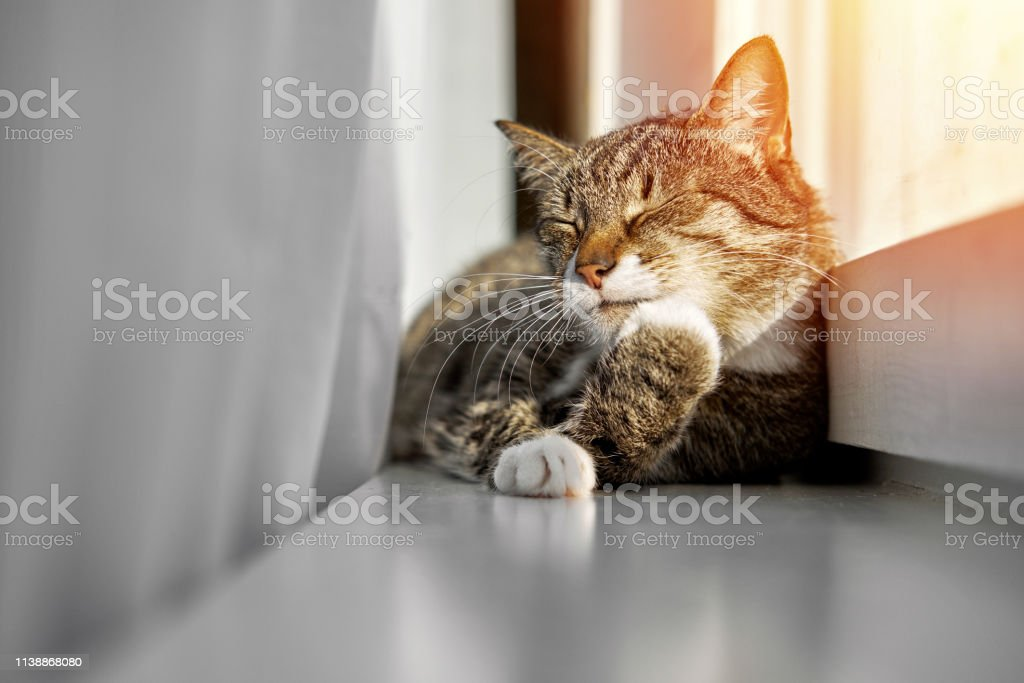 happy cat sleeps in the window, happy cat washes its paws on the...