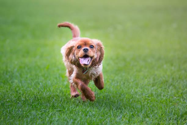 Happy cavalier king charles spaniel puppy running picture id1124957981?b=1&k=6&m=1124957981&s=612x612&w=0&h=lqauevinnqofykfjo as dfn6s2gmq7w4dmipz4gaj0=