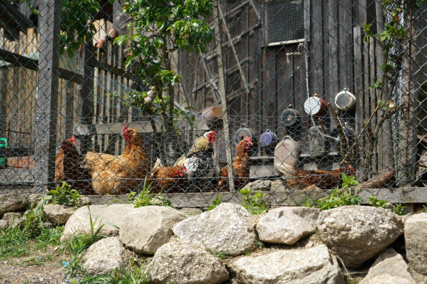Happy chickens that are kept appropriately in the Bavarian rural area This are happy chickens that are kept appropriately in the Bavarian rural area appropriately stock pictures, royalty-free photos & images