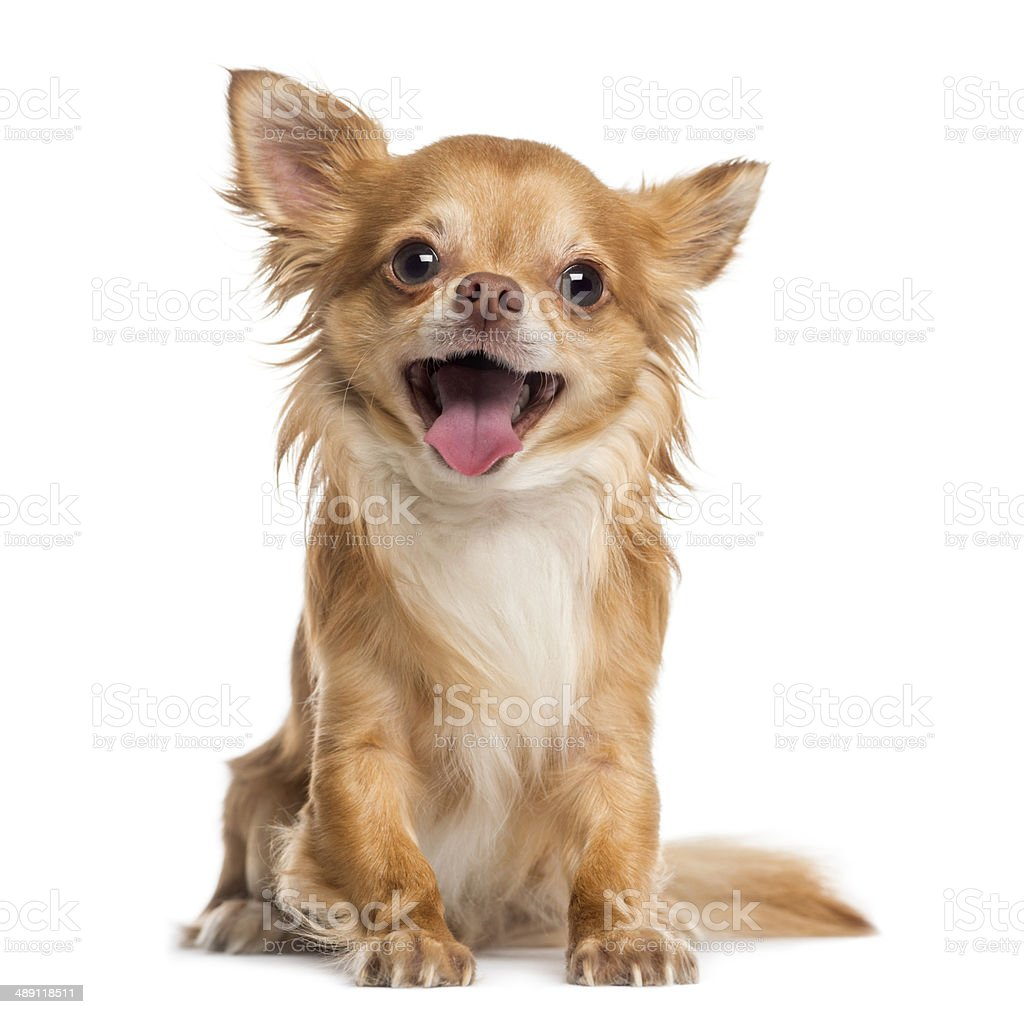 Happy Chihuahua (4 years old) stock photo