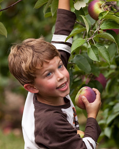 Happy child picking apples stock photo