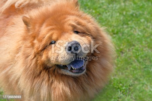 Happy chow chow dog portrait, close up. Pet on the street.