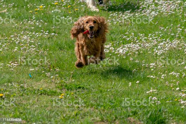 Happy cocker spaniel running in the green grass picture id1144394658?b=1&k=6&m=1144394658&s=612x612&h=2p4sueq 5l6r ybu2h6kg8zlx1wnpin7gkz2vhe oyu=