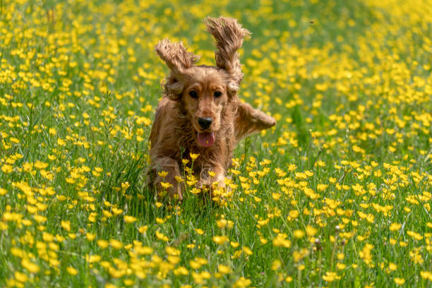 Happy cocker spaniel running in the yellow daisy field picture id1144394598?b=1&k=6&m=1144394598&s=612x612&w=0&h=z5sgddacyfwmv0nqsdup6u41sisuym6fahvvqebvwpy=