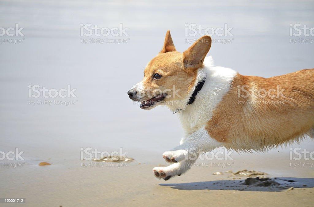 Happy corgi running stock photo