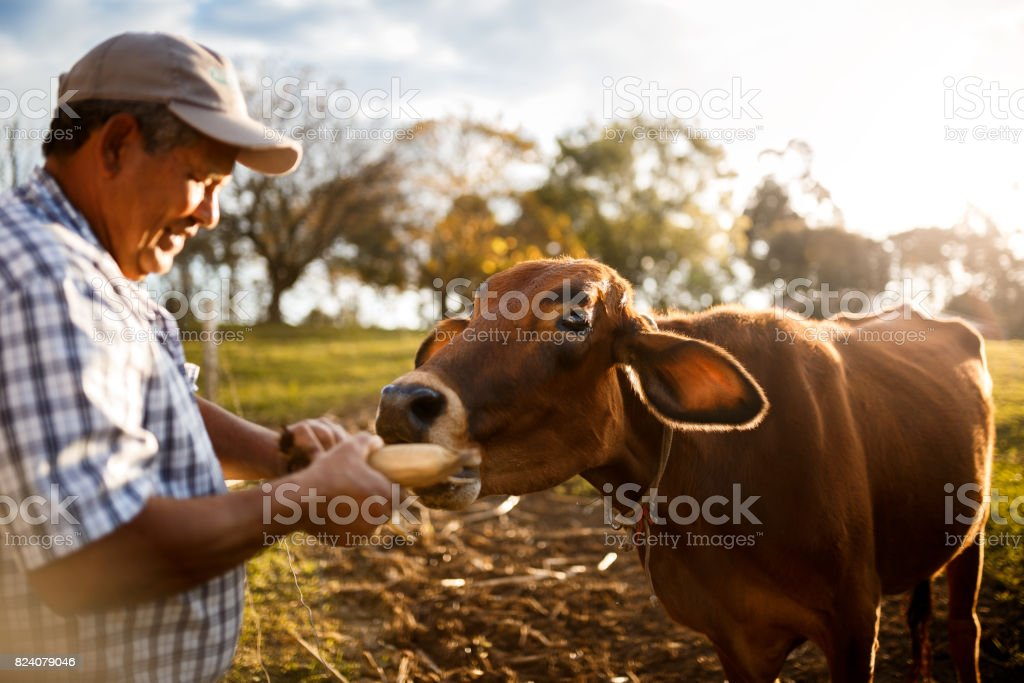 Happy cow being fed by farmer stock photo