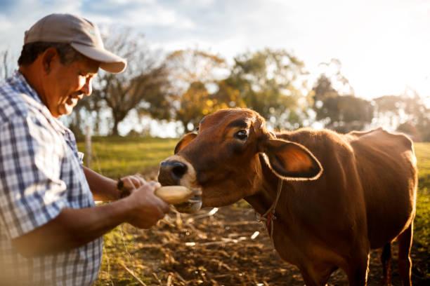 glücklichen kuh von landwirt gefüttert - mensch isst gras stock-fotos und bilder