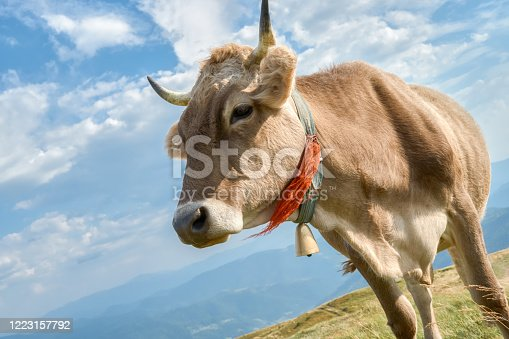 Close-up of beautiful cow on the summer pasture in the Carpathian mountains