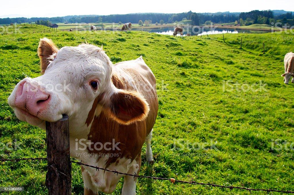 Happy Cow stock photo