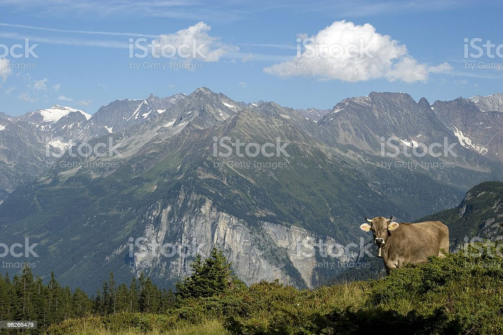 Happy cow royalty-free stock photo