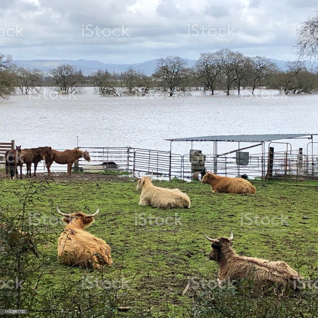 Happy cows don't worry about a little flooding stock photo