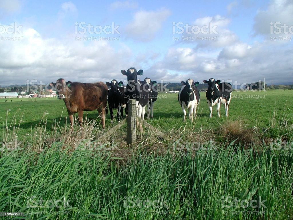 Happy Cows in a field royalty-free stock photo