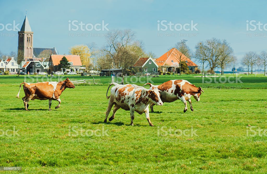 Happy cows jumping stock photo