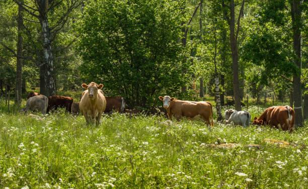happy cows on green summer pasture in sweden. - comportamento animal imagens e fotografias de stock