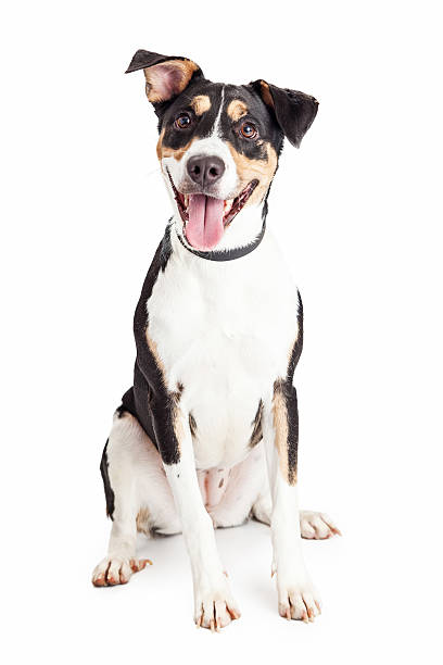 Happy Crossbreed Dog Sitting Mouth Open Cute and happy mixed breed medium size family dog sitting and looking forward into the camera with mouth open and tongue out mixed breed dog stock pictures, royalty-free photos & images