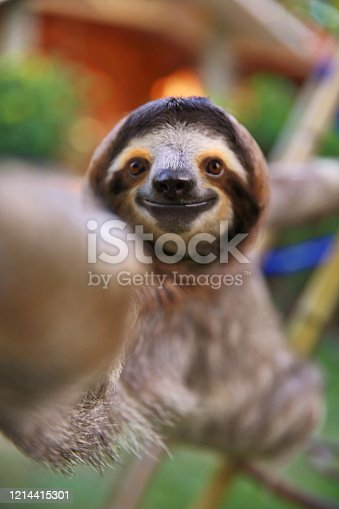Happy, curious rescued Sloth touching my camera lens