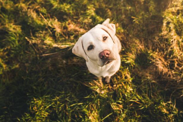 glücklich niedliche kleine Labrador Retriever Hund Welpe Haustier stehen in der Sonne auf Feld während des Sonnenuntergangs – Foto