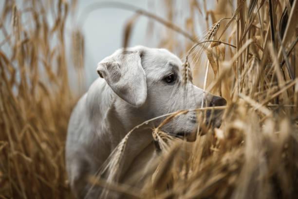 glücklich niedliche kleine Labrador Retriever Hund Welpe stehend in einem gelben golden launisch Feld draußen in der Natur – Foto