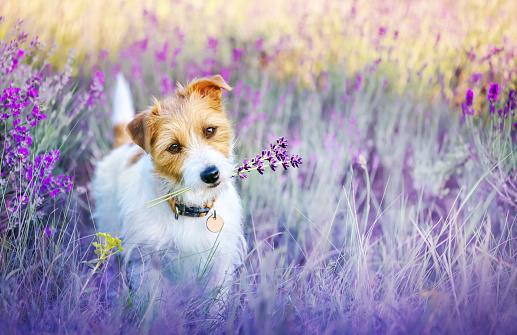 Happy walking cute pet dog puppy listening ears in a purple lilac lavender flower herb field in summer