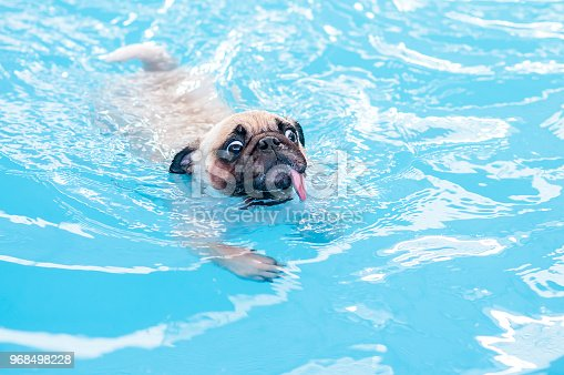 istock Happy cute pug dog swimming with tongue sticking out in the private local pool. 968498228