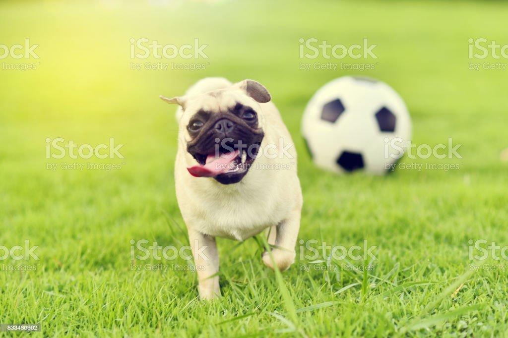 Happy cute Pug stock photo