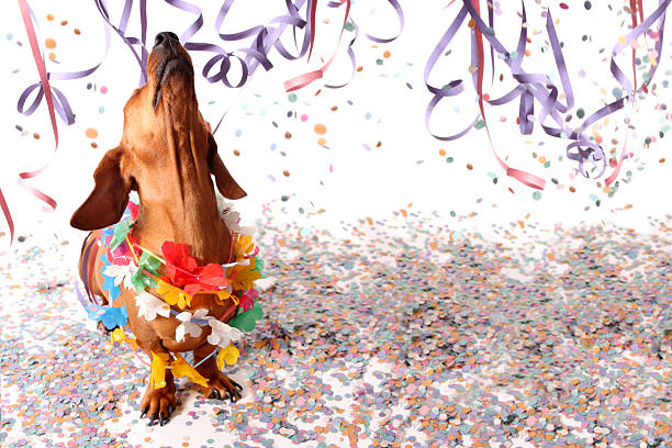 Happy dachshund at Carnival party stock photo