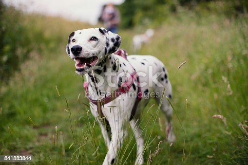 Dalmatian out walking in the countryside