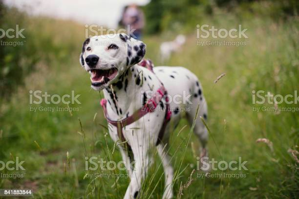 Happy dalmatian out walking picture id841883844?b=1&k=6&m=841883844&s=612x612&h=dcc6xuz1saby  nnhyfg5h2ml37ao5is4mvh6uvoa5g=