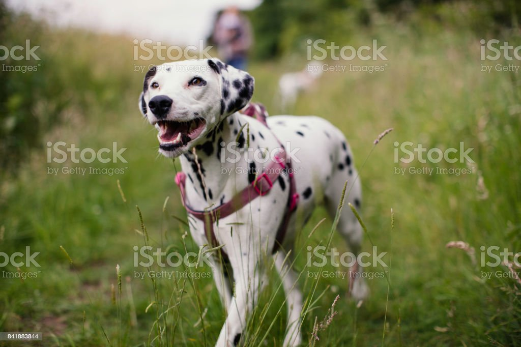 Happy Dalmatian Out Walking stock photo