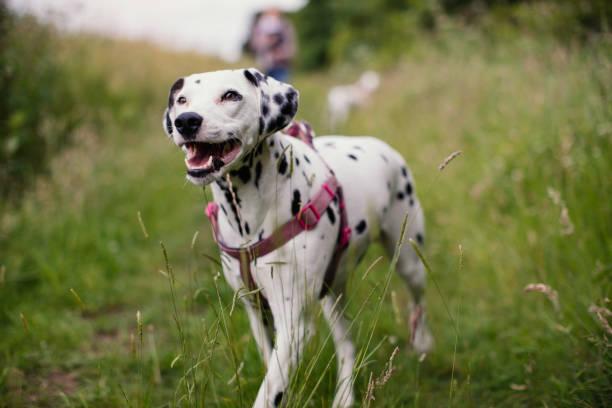 Happy Dalmatian Out Walking stock photo