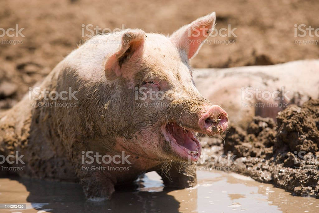 Happy dirty pig swimming and rolling in mud stock photo