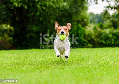 Jack Russell Terrier running with tennis ball in mouth