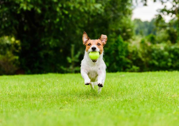 Gelukkige hond die actief het spelen van halenspel openlucht op zonnige dag speelt foto