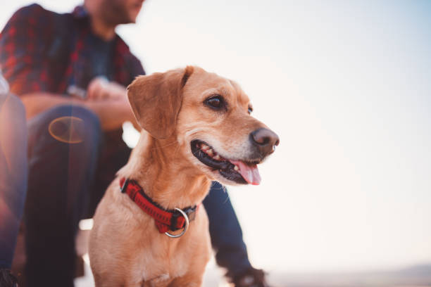 Happy dog and his owner in the background Happy yellow dog and his owner in the background collar stock pictures, royalty-free photos & images