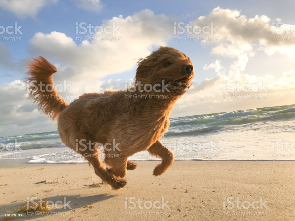 Happy Dog at the Beach royalty-free stock photo