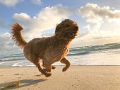 Happy fluffy cockapoo dog running along the shore of a beach at sunrise