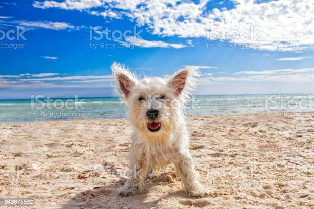 Happy dog at the beach picture id943675592?b=1&k=6&m=943675592&s=612x612&h=7zsvv4dbynukdihk0c3bni1znauei6t2oqah9xftm s=