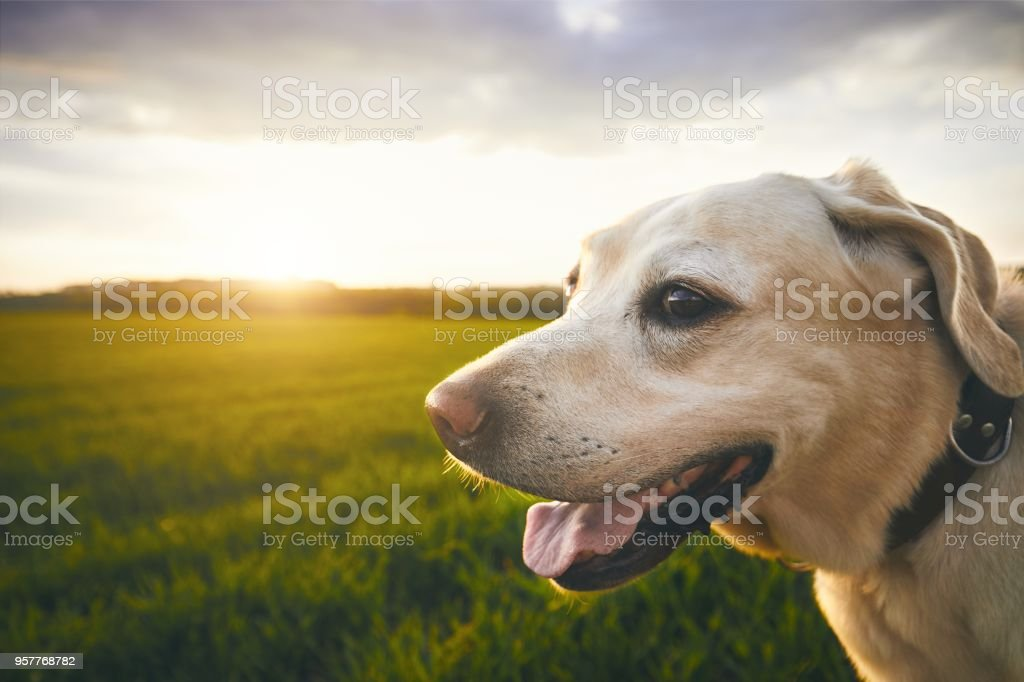 Happy dog at the sunset stock photo