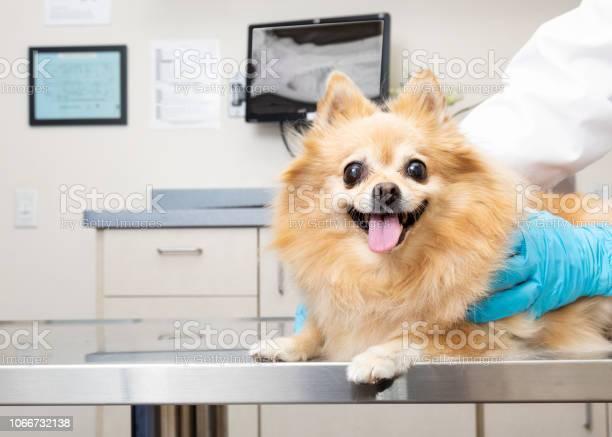 Happy dog at veterinary office picture id1066732138?b=1&k=6&m=1066732138&s=612x612&h=jlqlgzvalt3fzeapfakybc afhb906spwazzo4oqggy=