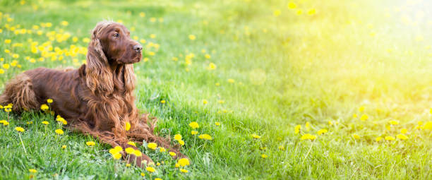 Happy dog banner Website banner of a happy Irish Setter dog with dandelion flowers irish setter stock pictures, royalty-free photos & images
