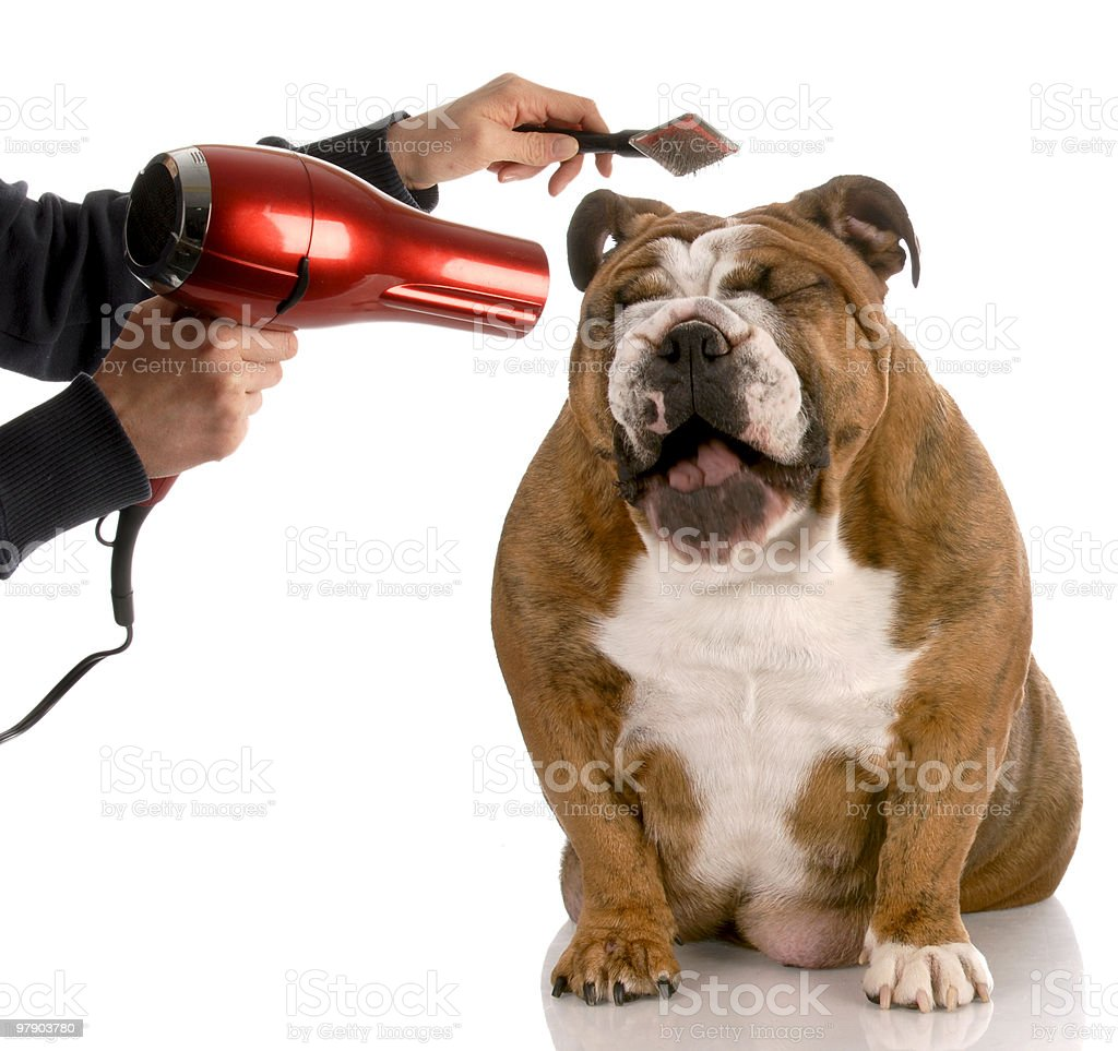 Happy dog being groomed with a hairdryer and a brush royalty-free stock photo