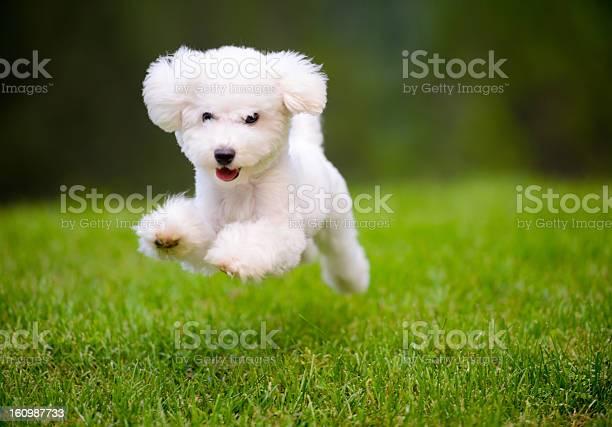 Happy dog fast running on lawn picture id160987733?b=1&k=6&m=160987733&s=612x612&h=sn4iuwnx69 5z49f6fmmanyc3 7lkuzdqhki8t7pdmk=