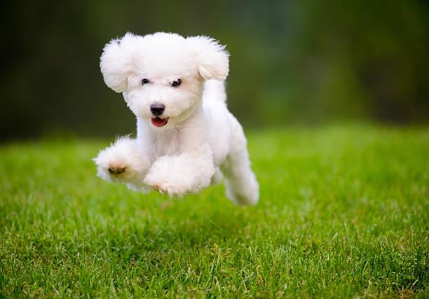 happy dog fast running on lawn - safkan köpek stok fotoğraflar ve resimler