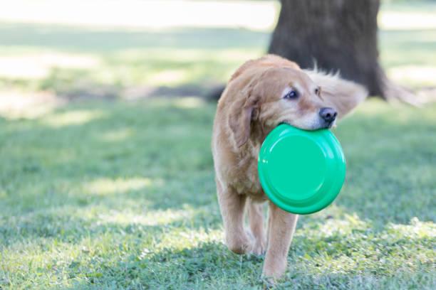 Happy dog fetches plastic disc picture id841934766?b=1&k=6&m=841934766&s=612x612&w=0&h=8udgjeyukm5f4jgxgusnwgn4yteljkxilo5uthigzki=